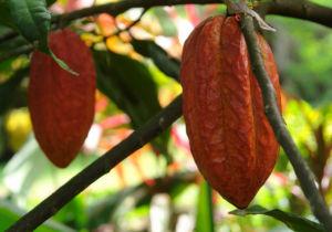 Cacao-Ghana-Cote-d'-ivoire