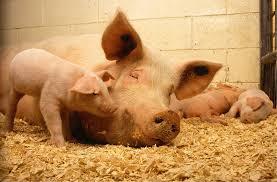 fièvre porcine France Belgique